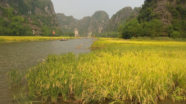 TAM COC BY RICE HARVEST SEASON